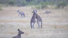 tracking shot of two male eastern grey kangaroos boxing at tom groggin in kosciuszko national park of nsw, australia