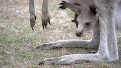 close up of a kangaroo joey in its mother's pouch at tom groggin in kosciuszko national park of nsw, australia