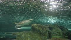 a wide shot of a grey nurse shark in a public aquarium at sydney, australia