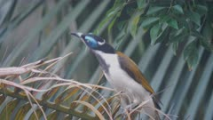 high frame rate front view of a blue-faced honeyeater perched on a palm branch
