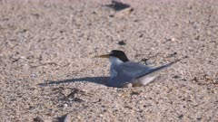 high frame rate clip of a little tern adult settling onto its nest on a beach at the entrance in nsw, australia