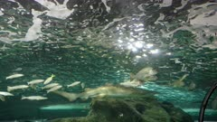 grey nurse shark and fish in an aquarium at sealife in sydney, australia