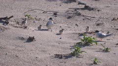 high frame rate clip of little tern adults and chicks on a beach at the entrance in nsw, australia