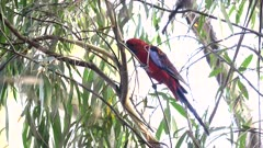 crimson rosella foraging for food on a eucalyptus tree at katoomba in the blue mountains of nsw, australia