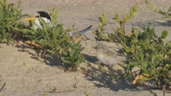two little tern chicks and an adult sitting on a beach at the entrance in nsw, australia