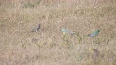 a high frame rate clip of a flock of red-rumped parrots feeding on the ground at glen davis in nsw, australia