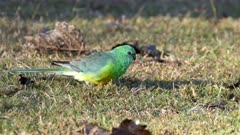 close view of a red-rumped parrot feeding on the ground at tamworth in nsw, australia