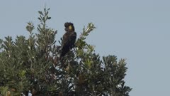 a yellow-tailed black cockatoo feeding in a banksia tree near forster in nsw, australia