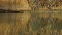 tracking shot of a pelican swimming on the murray river at big bend in south australia