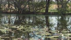side view of a saltwater crocodile swimming at marlgu billabong near wyndham in the kimberley region of western australia
