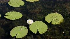 close shot of a waterlily flower at marlgu billabong near wyndham in the kimberley region of western australia