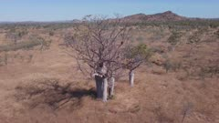 a high angle aerial shot flying away from a boab tree in the kimberley region of western australia