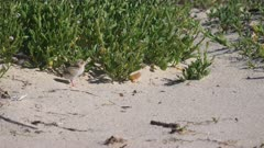 a high frame rate clip of a little tern chick standing on a beach at the entrance in nsw, australia