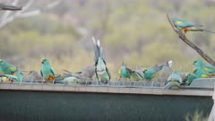 a high frame rate clip of a flock of mulga parrots at a water trough at gluepot reserve in south australia