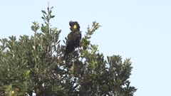 a yellow-tailed black cockatoo in a banksia tree at forster in nsw, australia