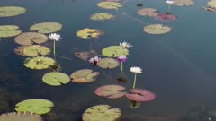 wide shot of waterlily leaves and flowers at marlgu billabong of parry lagoons nature reserve in the kimberley region of western australia