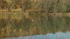 a long shot of a pelican swimming upstream on the murray riverr at big bend in south australia