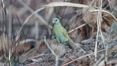 female hooded parrot feeding on the ground at pine creek in the northern territory of australia