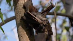 close up of a roosting adult and baby black flying fox or black fruit bat (Pteropus alecto) at nitmiluk gorge in nitmiluk national park of the northern territory