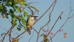 sacred kingfisher perched in a tree at marlgu billabong of parry lagoons nature reserve in the kimberley region of western australia