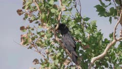 a red-tailed black cockatoo in a tree at pine creek in the northern territory of australia