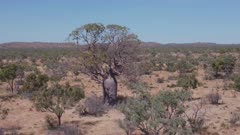 an aerial clip flying backwards away from a boab tree in the kimberley region of western australia