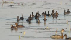 medium shot of coots and ducks at marlgu billabong of parry lagoons nature reserve in the kimberley region of western australia