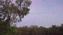 dawn clip of flying fox bats flying and roosting in a tree at nitmiluk gorge, also known as katherine gorge at nitmiluk national park in the northern territory