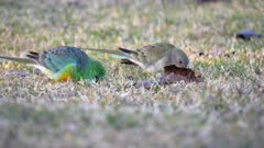an early morning shot of a pair of red-rumped parrots feeding on grass at tamworth in nsw, australia