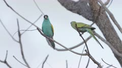male and female hooded parrot perched in a tree at pine creek in the northern territory of australia