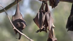 several fruit bats roosting at a camp at katherine gorge of nitmiluk national park in the northern territory