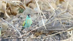 close view of a juvenile male hooded parrot at pine creek in the northern territory of australia