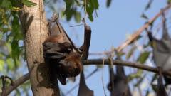 black fruit bat mum and baby at nitmiluk national park in the northern territory