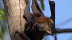 close up of black fruit bats at nitmiluk gorge, also known as katherine gorge, at nitmiluk national park in the northern territory