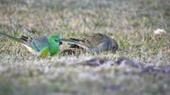 side view of a pair of red-rumped parrots feeding on the ground at tamworth in nsw, australia
