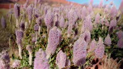 a close up of mulla mulla flowers growing in kata tjuta national park of the northern territory, australia