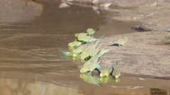 slow motion clip of a flock of  budgerigars landing and drinking from a creek at kings canyon in watarrka national park of the northern territory, australia