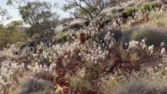 a wide shot of wildflowers growing on a hillside at kings canyon in watarrka national park of the northern territory, australia