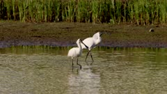 a slow motion tracking shot of a pair of royal spoonbill birds at a wetland on the central coast of nsw, australia