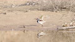 a slow motion clip of a black-fronted dotterel bird feeding at redbank waterhole near alice springs in the northern territory, australia