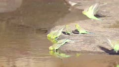 a slow motion shot of a budgerigar flock drinking from kings creek at kings canyon in watarrka national park of the northern territory, australia