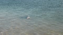 bottlenose dolphin swimming close to shore at monkey mia in western australia