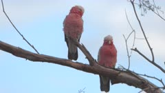 a close shot of a pair of galahs perched in a tree at redbank waterhole near alice springs in the northern territory, australia
