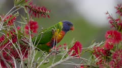 a rainbow lorikeet reaches to feed from a red bottlebrush at a reserve on the central coast of nsw, australia- conformed from 60p-30p