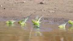 a slow motion clip of a budgie flock drinking from a the hugh river at redbank waterhole near alice springs in the northern territory, australia
