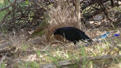 a high frame rate clip of a male satin bowerbird picking up an object to show a female at his bower in a forest on the central coast of nsw, australia