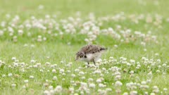 a slow motion tracking clip of a masked lapwing chick foraging for food at a reserve on the central coast of nsw, australia