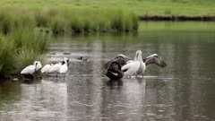 slow motion clip of a pelican flapping its wings, as other birds preen, at a wetland on the central coast of nsw, australia