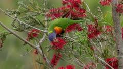 high frame rate tracking shot of a rainbow lorikeet feeding on red bottlebrush flowers