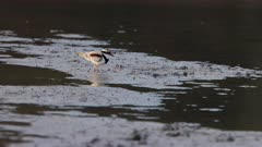 slow motion shot of a black-fronted dotterel feeding on a wetland mud bank at the central coast of nsw, australia